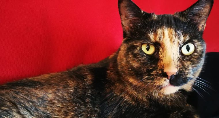 Cat available for adoption- her name is Asal