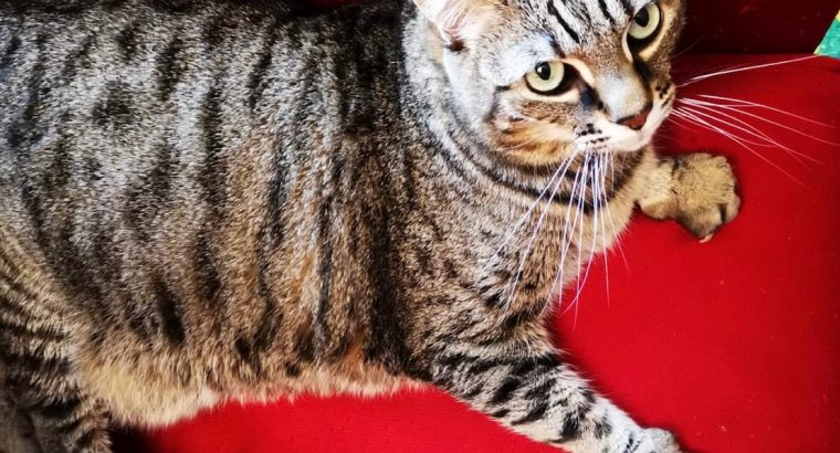Cat for adoption – her name is Ashta